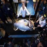بيع سمكة تونة عملاقة بـ1.8 مليون دولار