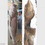 العثور على أكبر سمكة سنا في العالم