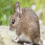 الفئران تغزو حقول ألمانيا بشكل غير مسبوق.. والمحاصيل في خطر