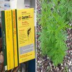 فيروس كورونا: هل ينفع نبات الشيح فعلا في علاج كوفيد-19؟